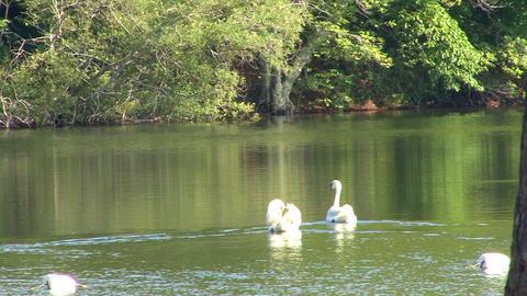 Swan couple Footage