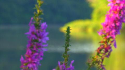 Pond Mist & Flowers; Rack Focus Footage