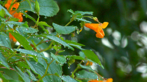 Dew drops on orange flowers; part 1 Footage
