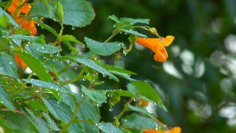 Dew drops on orange flowers; part 1 Footage