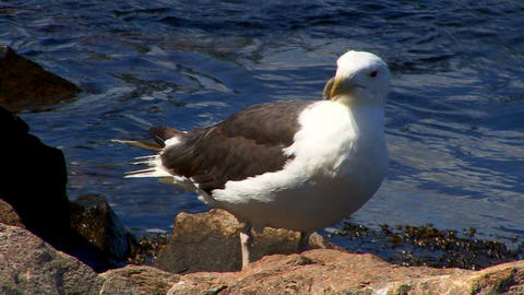 Cape Cod Canal; seagull Footage
