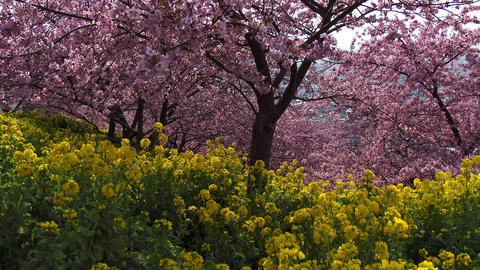 cherry tree and canola flower Stock Video Footage