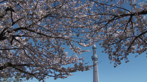 Tokyo sky tree and Cherry Tree Footage