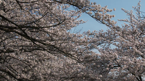Close up Cherry blossom with blue sky ビデオ