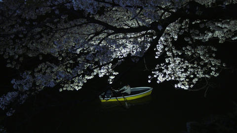 Cherry blossoms light up in the wind at Chidorigafuchi park in Tokyo, Japan Footage