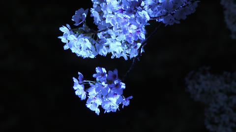 Close Up Cherry Blossoms Light Up In The Wind At Chidorigafuchi Park In Tokyo, J stock footage