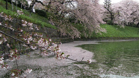 Sakura(Cherry) blossoms are falling pond at Chidorigafuchi park in Tokyo, Japan Footage