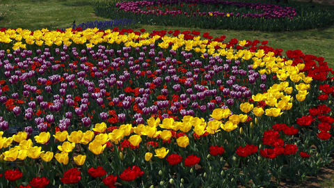 Circle Tulips swaying in the wind Footage