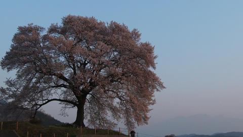 Cherry on wani-zuka get sunshine tumulus yamanashi,Japan Footage