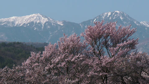 Cherry tree behind snow mountain Footage