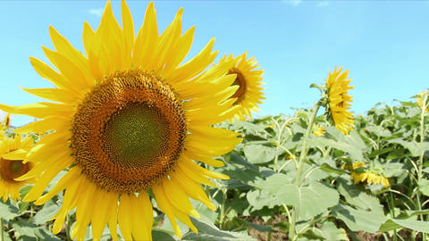 Close up Sunflower field Footage