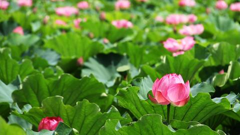 Lotus flower in tokyo shinobazu pond Footage