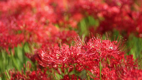 Cluster amaryllis in saitama,japan Live Action