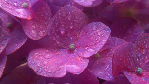 Close up Overlapping bright purple hydrangea flowers that each swaying at rainy Footage