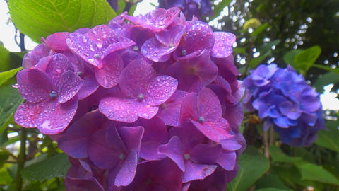 Overlapping bright purple hydrangea flowers that each swaying at rainy Live Action