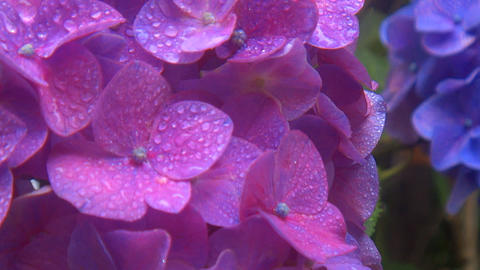 Close up Overlapping bright blue hydrangea flowers that each swaying at rainy Footage