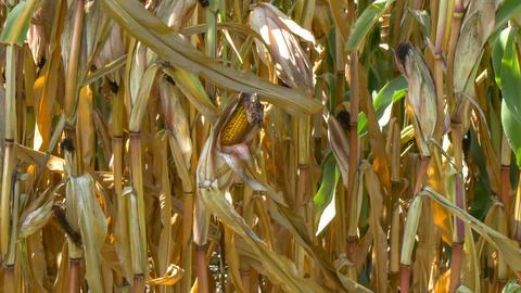 corn field Footage