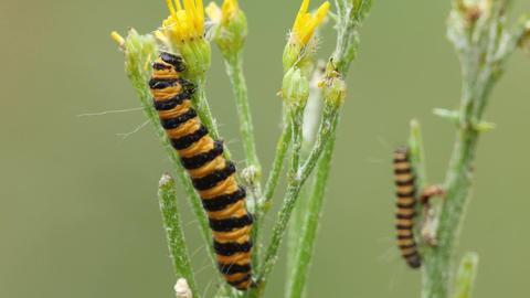 4 K, Close Up Of A Feeding Caterpillar Of The Cinnabar Moth On Ragwort stock footage