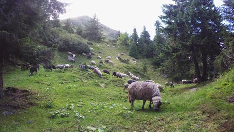 Mountain Sheeps 4K