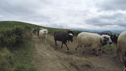Mountain sheeps Footage