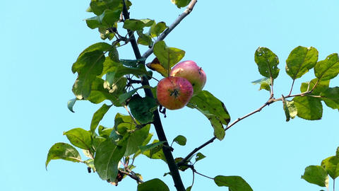 Red apples on a branch Footage