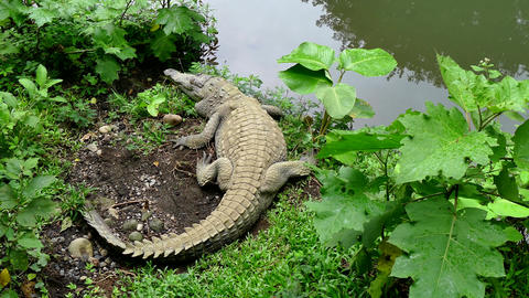 Crocodile Wild Animal Reptile Wildlife In Zoological Gardens Costa Rica Live Action