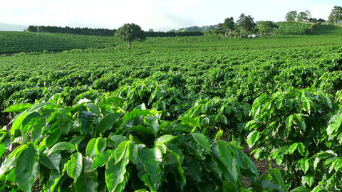 Plantation Cultivation Agriculture Farming Coffee Plants Field In Costa Rica Footage