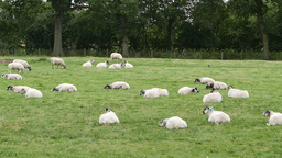 Flock of sheep rest in farmer's field Footage