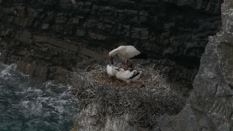 Family Of White Storks In The Nest stock footage