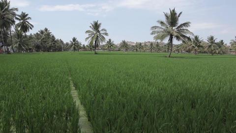 Rice Field In Hampi India