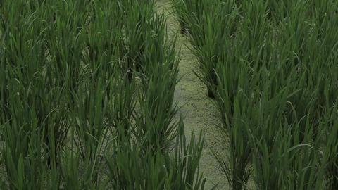Rice Field In Hampi India 0