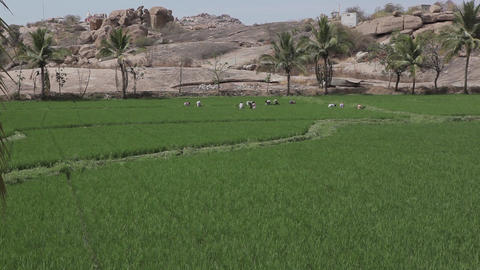 Rice Field In Hampi India 2
