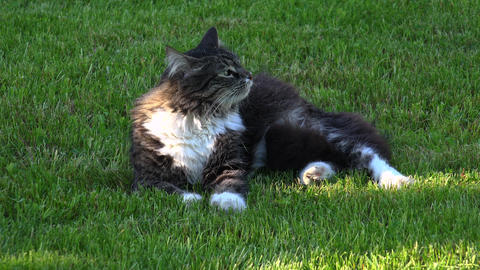Gray cat resting and somersaults on the grass. 4K Stock Video Footage