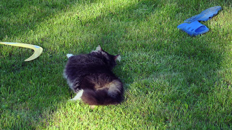 Gray cat resting and somersaults on the grass. 4K Footage