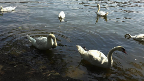 White swans are swimming in the water. 4K Footage