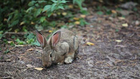 Big Grey Rabbit sniffs and looks around Footage