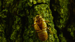Exuvia of Cicada on the bark, sound Footage
