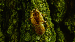 Exuvia of Cicada on the bark, sound, pan Footage