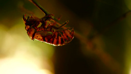 Exuvia Of Cicada On The Twig, Pan stock footage