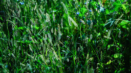 Wild grasses ,fluffy weeds in a meadow, in sun, with wind Footage