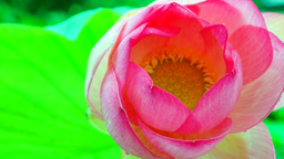 Intensely Colored Lotus Flower And Leaf (Nelumbo Nucifera) Moving By Wind stock footage