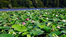 Lotus Leaves And Flowers (Nelumbo Nucifera) On Lake With Wind Footage