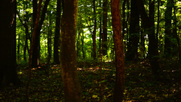 Dark forest, trees background, green nature landscape, wilderness, august, pan Footage