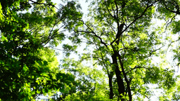 Rotating trees,woods forest, green nature landscape, wilderness, august, pan Footage