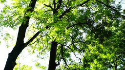 Rotate trees,woods forest, green nature landscape, wilderness, august Footage