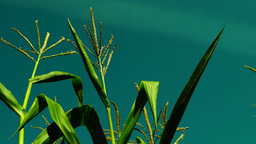 Hued corn field with slant of wind on a sunny day,plane traces Footage