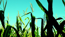 Vibrant maize field with slant of wind on a summer sunny day Footage