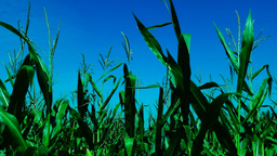 Vibrant maize field with wind on a sunny day Footage
