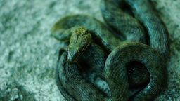 Coiled snake, tongue out, heedful. Dice snake ( Natrix tessellata ) Footage