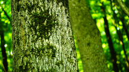 Woods forest, tree bark background, wilderness, august, pan Footage